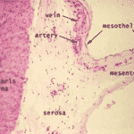mesothelial tissue