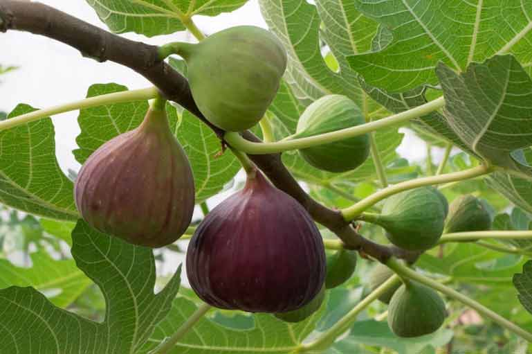 figs nutrition